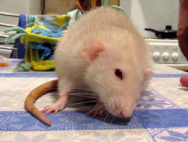 Не стоит применять ультразвуковые отпугиватели в доме, где содержатся домашние грызуны, поскольку работа устройства причинит им такой же дискомфорт, как и их диким собратьям.