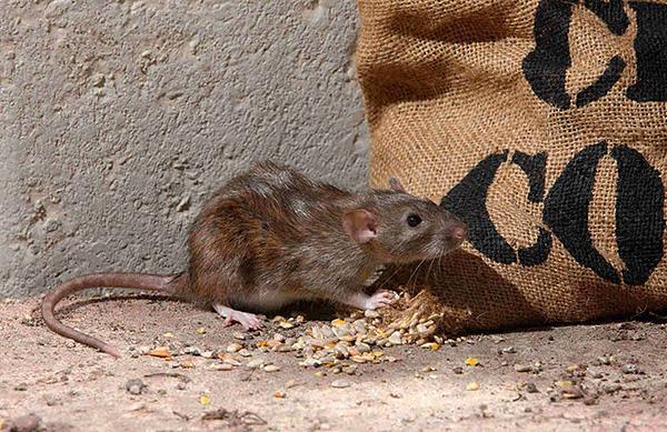 Давайте разберемся, как серым крысам (пасюкам) удалось стать одними из самых многочисленных млекопитающих на планете.