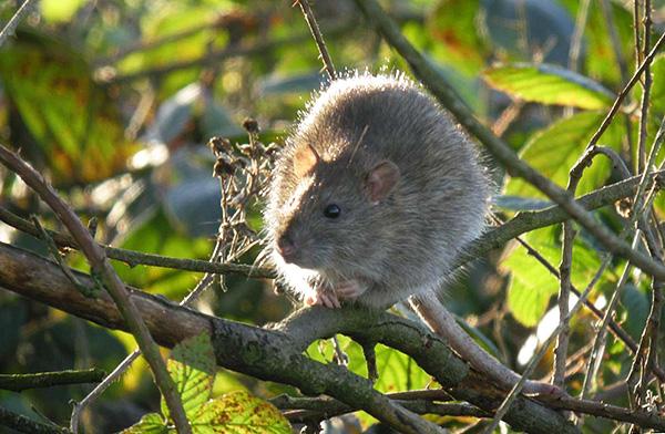 Серые крысы могут жить на деревьях, практически не спускаясь на землю.