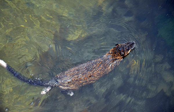 Способность отлично плавать позволяет крысам добывать пищу и при необходимости перемещаться на большие расстояния по воде.