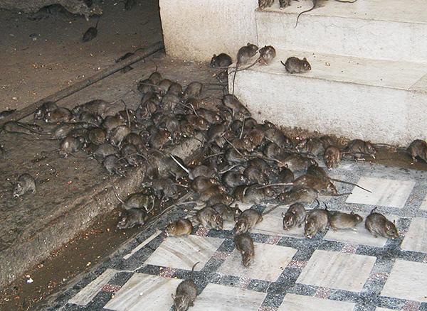 В мегаполисах на каждого жителя сегодня приходится примерно одна крыса.