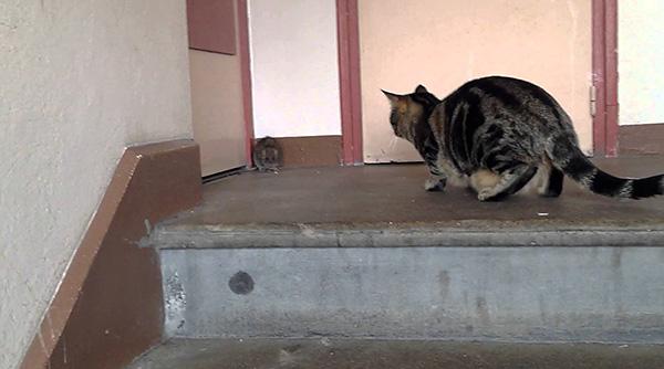 Серые крысы, будучи загнанными в угол, способны агрессивно обороняться, поэтому не каждая кошка способна поймать их.