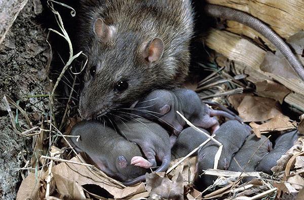 Самка серой крысы с недавно родившимися детенышами.