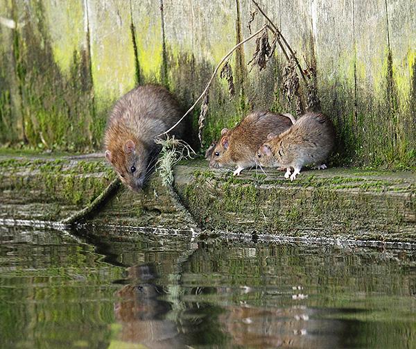 В дикой природе серые крысы стараются селиться близко к воде.