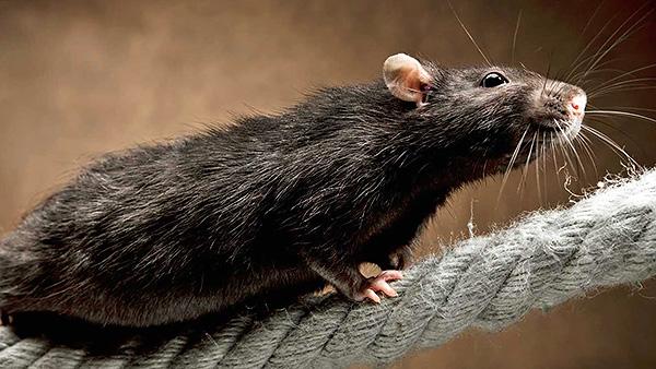 Черные крысы изначально распространялись по миру быстрее благодаря тяге к перемещению на кораблях.