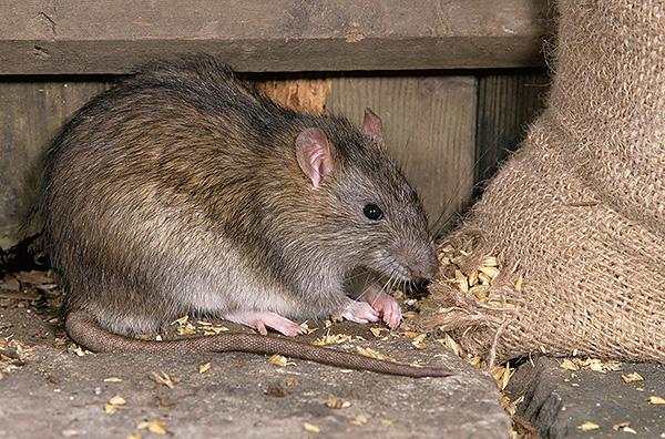 Эти грызуны - настоящее бедствие для складов и зернохранилищ...