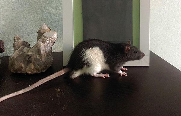 Декоративные крысы различных расцветок являются весьма популярным видом домашних питомцев.