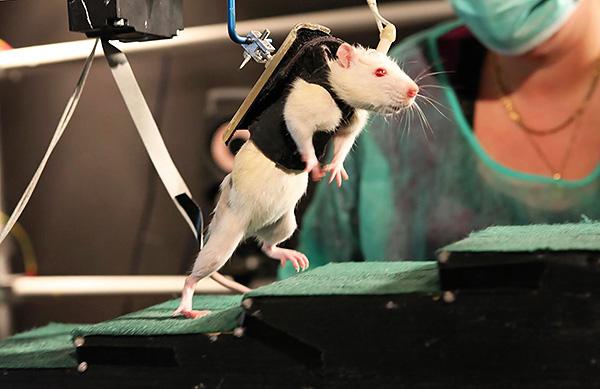 Лабораторные крысы ценой своих жизней оказывают неоценимую помощь всему человечеству...