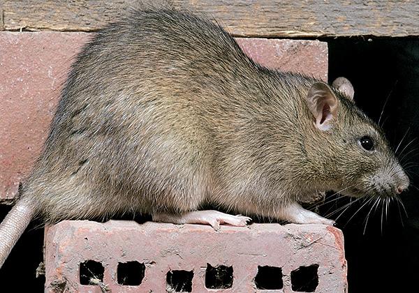 Серая крыса может достигать 24 сантиметров в длину, при этом хвост у нее всегда короче тела, в отличие от черной крысы.