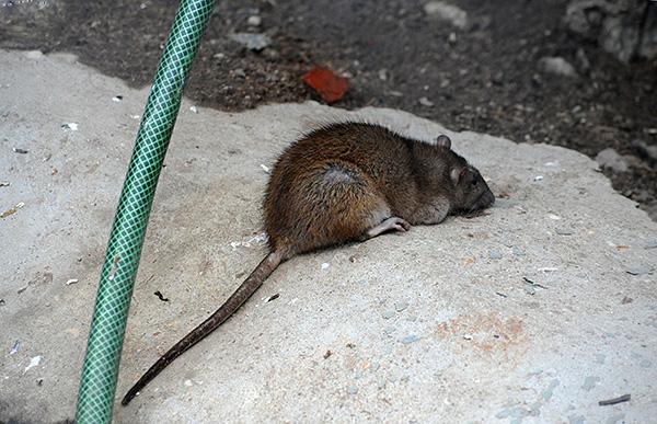 Взрослая особь серой крысы отличается от черной более крупными размерами тела.