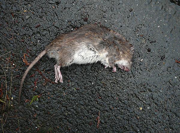 На упаковке Крысиной Смерти от компании Тигард заявлен мумифицирующий эффект, однако это не более, чем рекламная уловка.