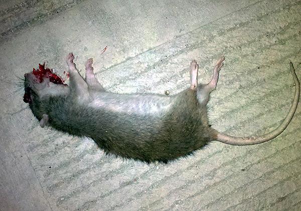 Бродифакум и бромадиолон являются антикоагулянтами крови и вызывают кровотечения, приводящие к смерти грызуна.
