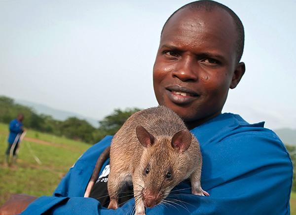 Африканские сумчатые крысы - одни из самых больших в мире, но они не боятся людей и никогда не нападают на них.