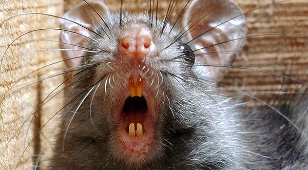 Крысы являются переносчиками большого количества инфекционных заболеваний, например, таких как столбняк и содоку, которые могут передаваться человеку через слюну грызуна при укусе.