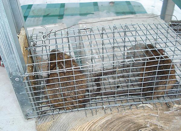 Живоловушки являются, пожалуй, самым гуманным средством борьбы с крысами и мышами, но имеют большой недостаток - необходимо решать, что делать дальше с живыми зверьками...