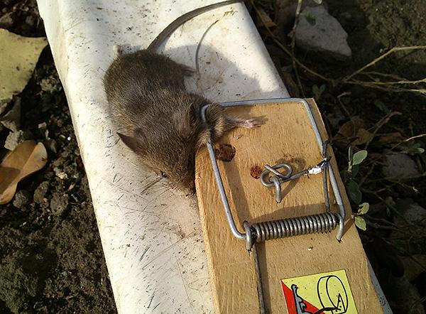 Сделать капкан для крыс своими руками