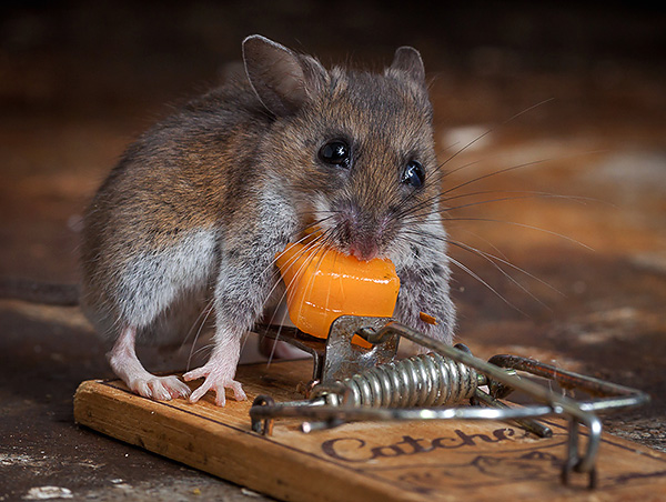 Считается, что крысы и мыши больше всего любят сыр, но давайте разберемся, правда ли это и какие приманки на практике работают лучше всего...