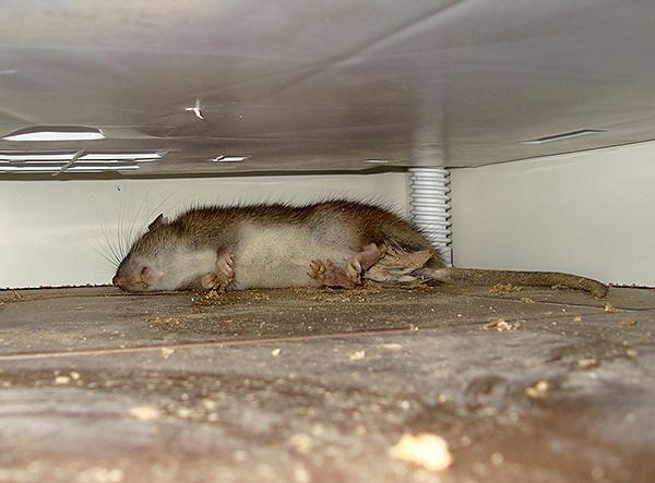Для достижения желаемого эффекта при самостоятельном приготовлении отравленной приманки нужно следовать инструкциям, прилагаемым производителями к каждому типу крысиного яда.