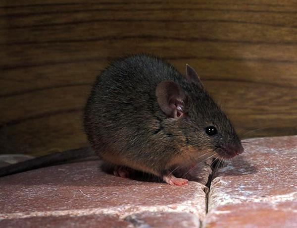 В основном мыши предпочитают продукты растительного происхождения, такие как крупы, овощи и фрукты.