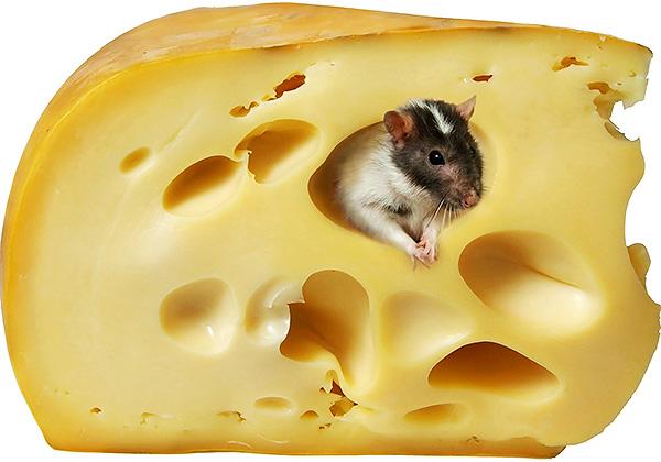 То, что крысы и мыши любят сыр - скорее, миф, навеянный мультфильмами, поскольку на самом деле это не та приманка, за которой грызуны с наибольшей вероятностью полезут в ловушку.