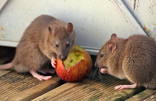Рацион крыс состоит в основном из продуктов животного происхождения, в то время как у мышей - растительного, но в отсутствие привычной еды и те, и другие могут питаться практически любыми продуктами.