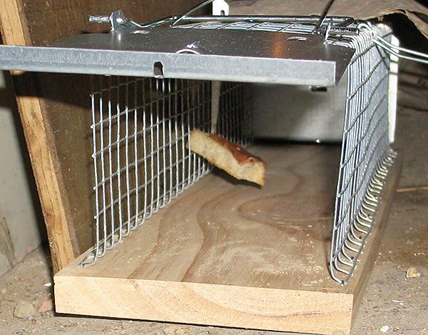 Мыши очень любят свежий хлеб, смоченный подсолнечным маслом, поэтому высока вероятность, что они залезут в ловушку с такой приманкой.