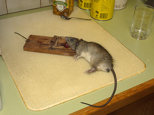 Крыса, польстившись на кусок копченой колбасы, попала в мышеловку.