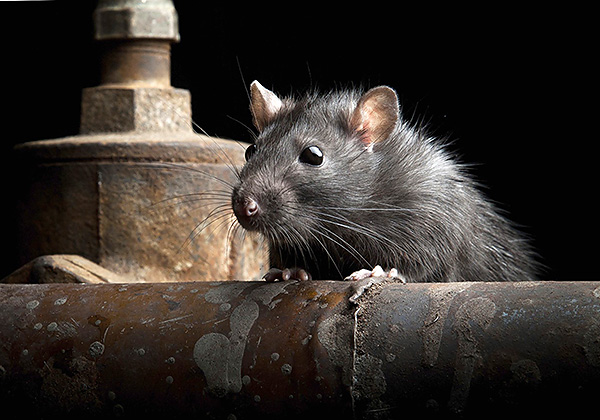 Черные крысы более осторожны, чем их серые собратья, и могут избегать многих отравленных приманок, вызвавших у них подозрения.