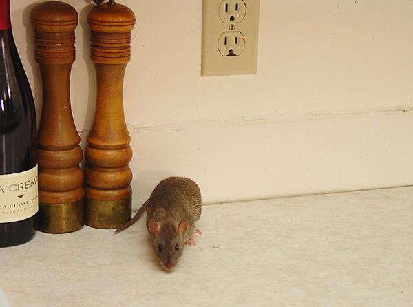 Несмотря на невысокую вероятность, заражение инфекцией после укуса крысы все-таки возможно, поэтому стоит обратить внимание на характерные признаки, которые могут проявиться в случае инфицирования.