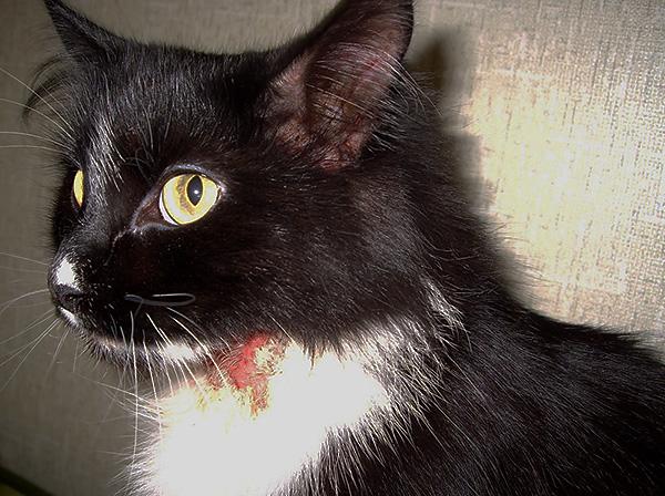 В случае с домашними животными бывает сложно определить, покусала ли их крыса, или рана возникла по другой причине.