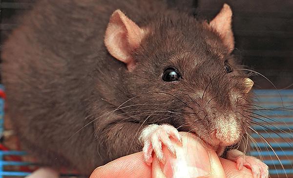 Укусов домашних декоративных крыс можно не опасаться, поскольку такие зверьки обычно здоровы и не настолько агрессивны, как их дикие собратья.