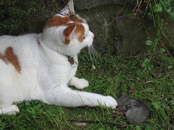 В большинстве случаев укус крысы не опасен для домашних животных, если питомец может самостоятельно вылизать рану.