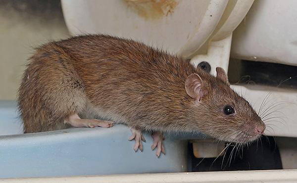 Крысы способны нанести существенные травмы своими укусами, а также заразить некоторыми видами весьма опасных инфекционных заболеваний.