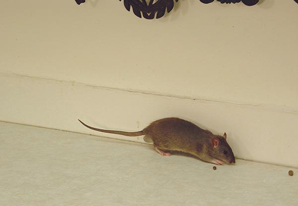 В частном доме важно не только избавиться от уже имеющихся крыс и мышей, но и предотвратить попадание сюда новых грызунов.