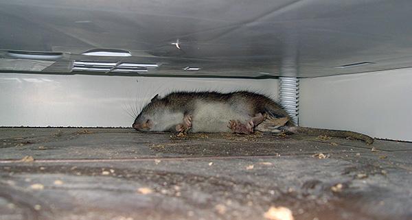 Если отравленная крыса или мышь умрет в труднодоступном месте (например, в полости навесного потолка), то дом может надолго пропитаться трупным запахом.