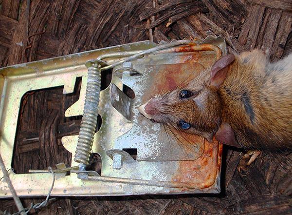Самые обычные механические ловушки могут помочь довольно быстро избавиться от крыс и мышей, если уметь правильно пользоваться этими устройствами.