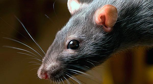 Постараемся разобраться, чего крысы боятся больше всего...
