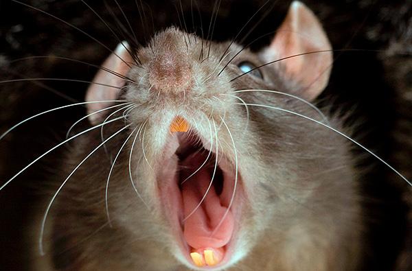 Сигналы об опасности, подаваемые самими крысами, действительно распугивают их собратьев.
