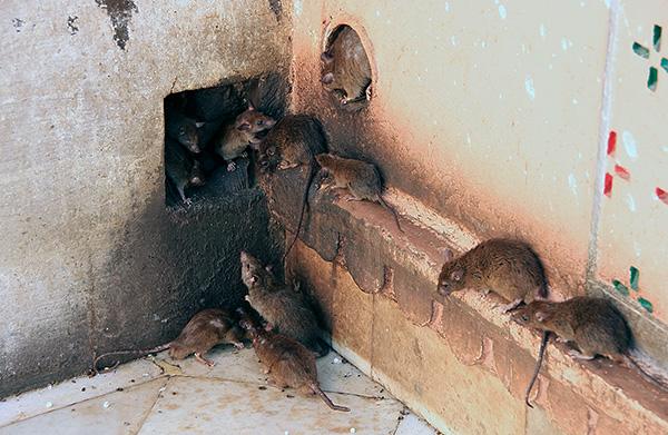 Есть даже мнение, что наши отечественные крысы настолько умны, что практически ничего не боятся.