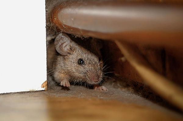 Отпугивать грызунов целесообразно таким образом, чтобы сохранялся комфорт проживания в доме для человека.