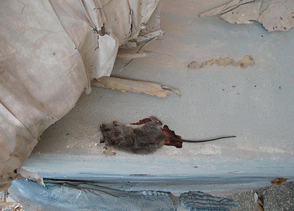 Следует учитывать, что при разложении мертвые грызуны могут наполнять дом трупным запахом, причем не всегда тушки удается достать из труднодоступных мест.