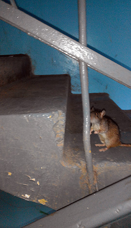 Если крысы встречаются в подъезде многоквартирного дома - это повод обращаться в СЭС и управляющую компанию.