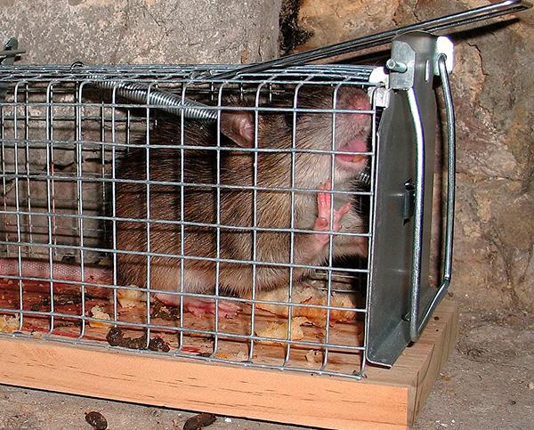 На фотографии показана крыса, пойманная в живоловушку.