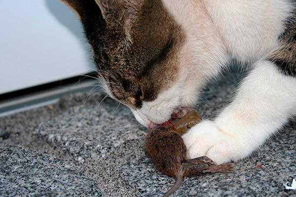Вовсе не обязательно травить крыс в доме ядами - нередко достаточно просто завести кошку-крысоловку.