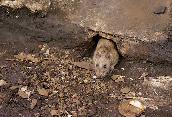 Инфекции, переносимые крысами, способны вызывать у человека разного рода лихорадки.