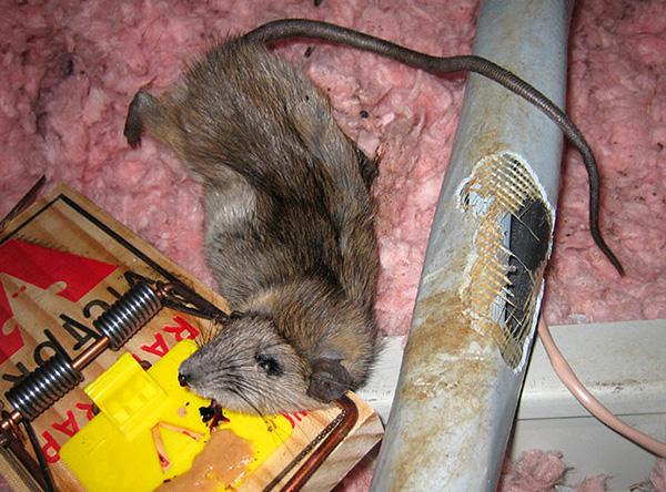 Повреждение крысами и мышами изоляции проводов является частой причиной коротких замыканий.