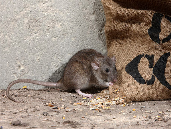 Заразиться инфекциями можно через продукты питания, испорченные грызунами.