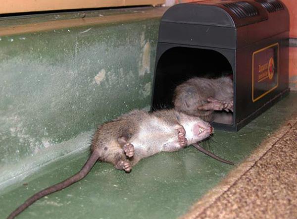Чтобы крысоловка продолжала работать, нужно периодически освобождать ее от трупов уничтоженных грызунов.