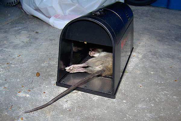 Прибор убивает крысу током высокого напряжения, причем практически мгновенно.