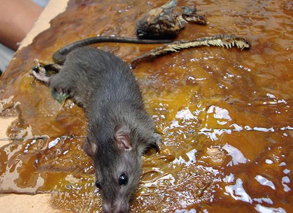 Из соображений гуманности при уничтожении крыс и мышей нежелательно использовать клей и клеевые ловушки.
